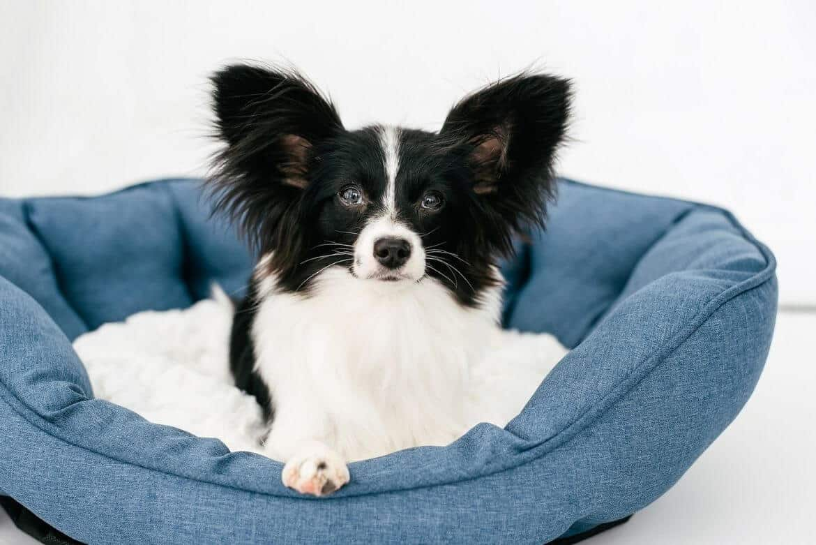 dog laying in blue bed